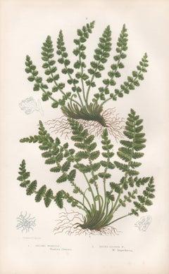 Ferns - Oblong Woodsia, antique fern botanical plant colour woodblock print