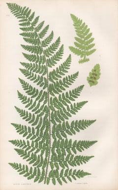 Ferns - Rigid Lastrea, antique fern botanical plant colour woodblock print