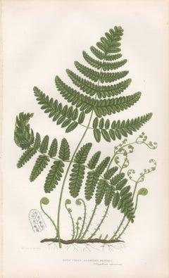 Ferns - Rigid Three Branched Polypody, antique fern botanical woodblock print