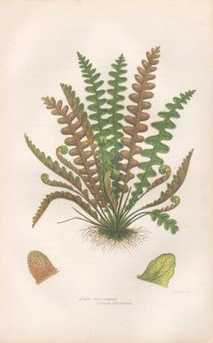 Ferns - Scaly Spleenwort, antique fern botanical plant colour woodblock print