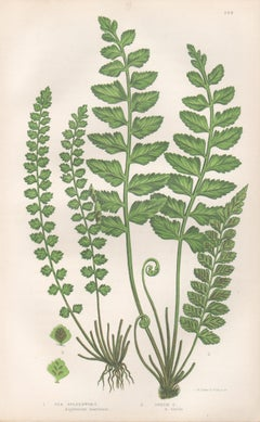 Ferns - Sea and Green Spleenwort, antique fern botanical colour woodblock print