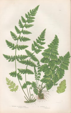 Ferns - Toothed Bladder Fern, antique fern botanical woodblock print