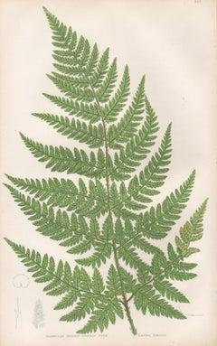 Ferns - Triangular Prickly Toothed Fern, antique botanical woodblock print