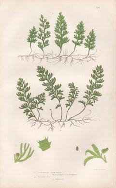 Ferns - Tunbridge Film Fern, antique fern botanical woodblock print