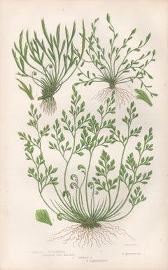 Ferns - Wall Rue Spleenwort, antique fern botanical woodblock print