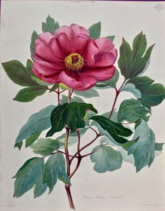 19th Century Hand-colored Engraving of a Flowering Peony Annesley Tree