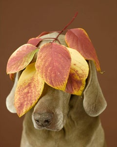 William Wegman - Leafy Veil