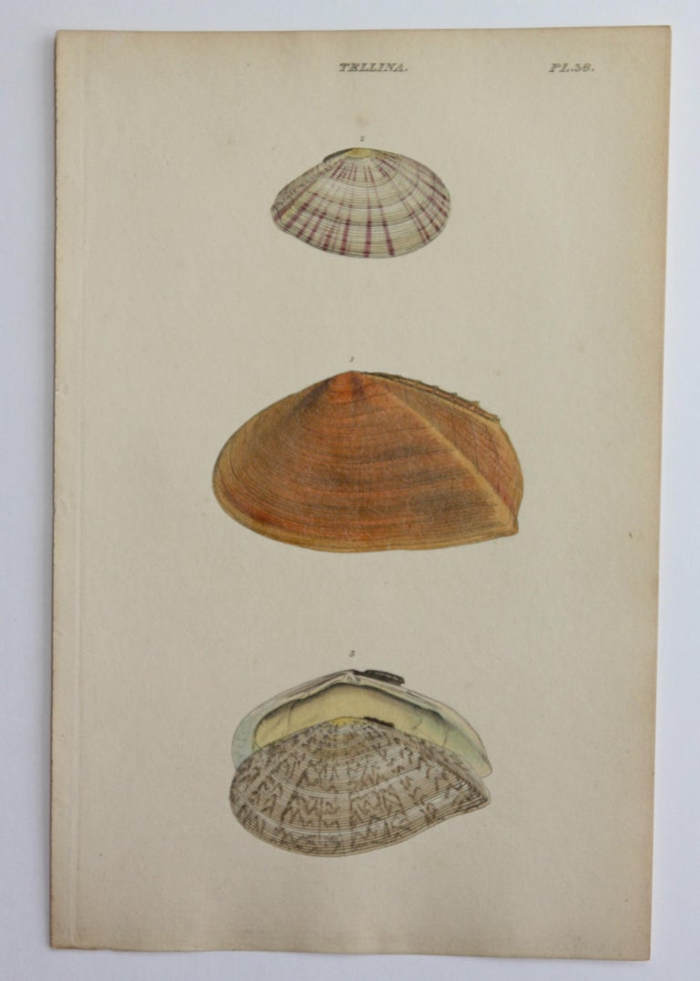42 Hand-Colored Antique Prints of Shells by William Wood For Sale 10