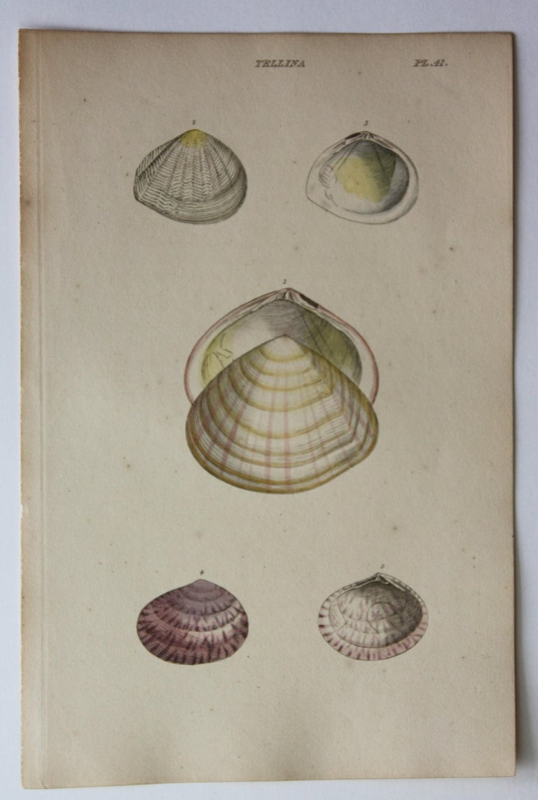 42 Hand-Colored Antique Prints of Shells by William Wood For Sale 13