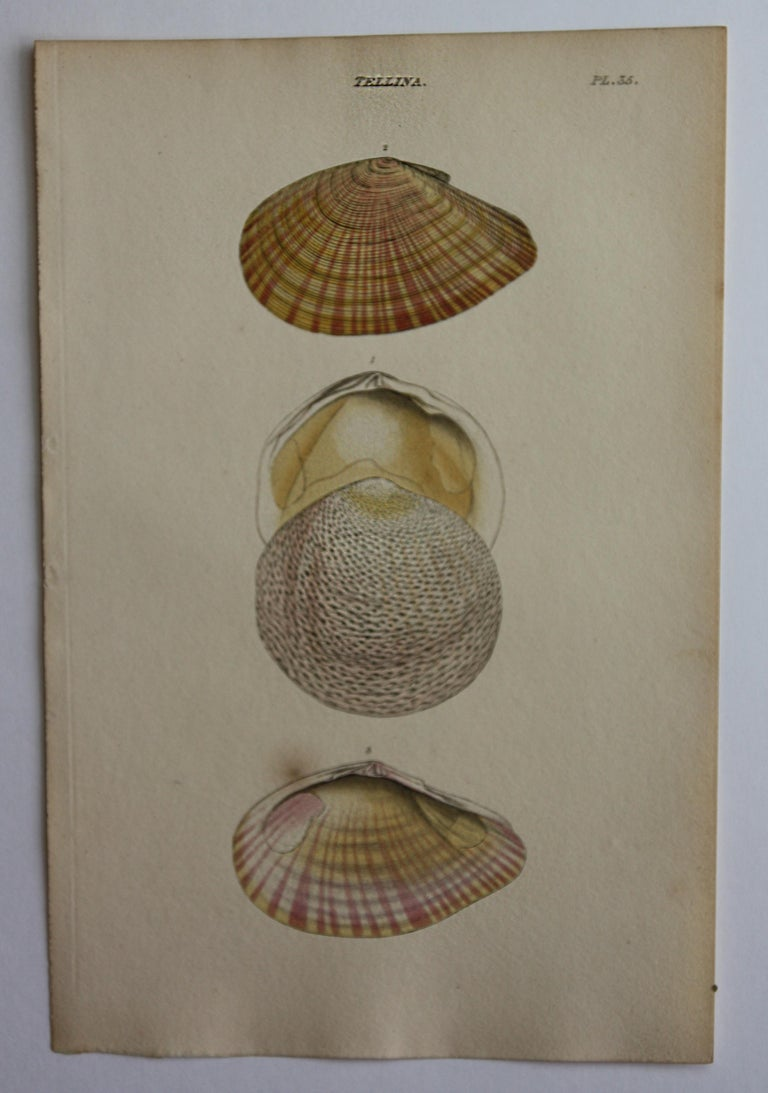 42 Hand-Colored Antique Prints of Shells by William Wood For Sale 14