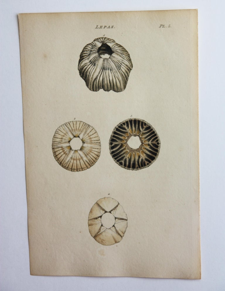"""42 hand-colored, antique prints by William Wood.  Published in the book """"General conchology , A description of shells, arranged according to the Linnean system : and illustrated with plates, drawn and coloured from nature."""" Printed in London for"""