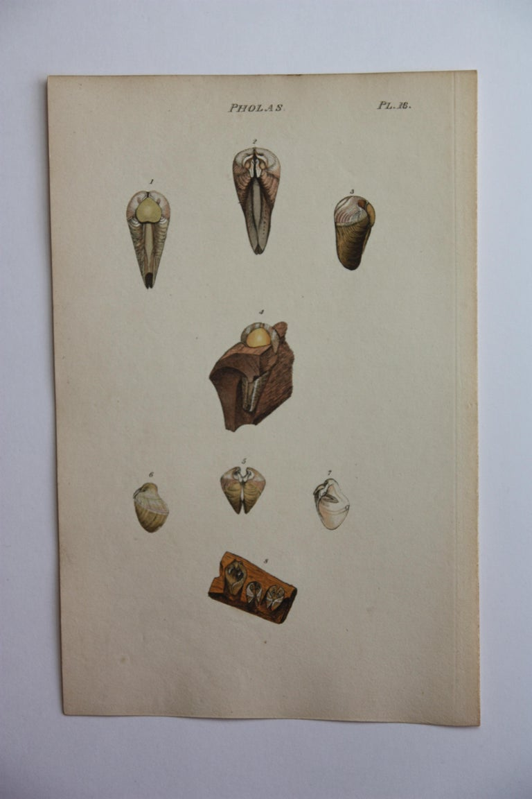42 Hand-Colored Antique Prints of Shells by William Wood For Sale 1