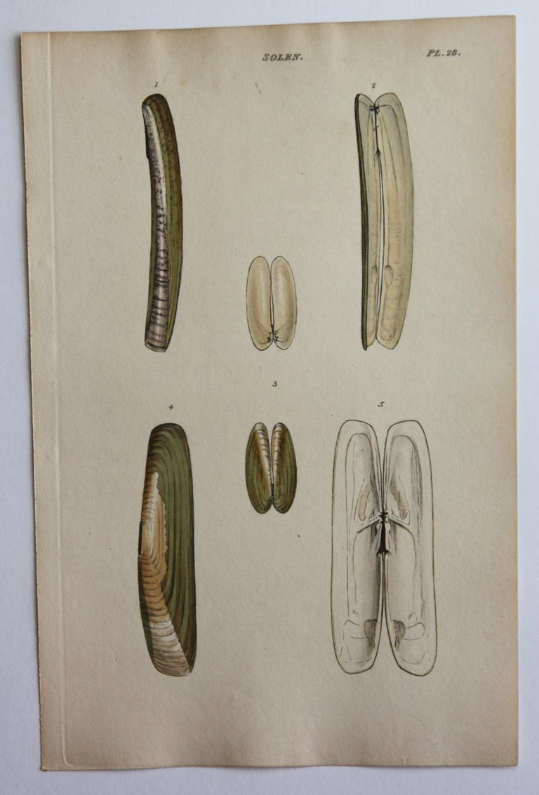 42 Hand-Colored Antique Prints of Shells by William Wood For Sale 7