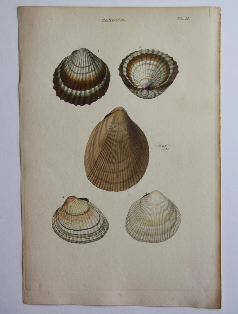 42 Hand-Colored Antique Prints of Shells by William Wood For Sale 2