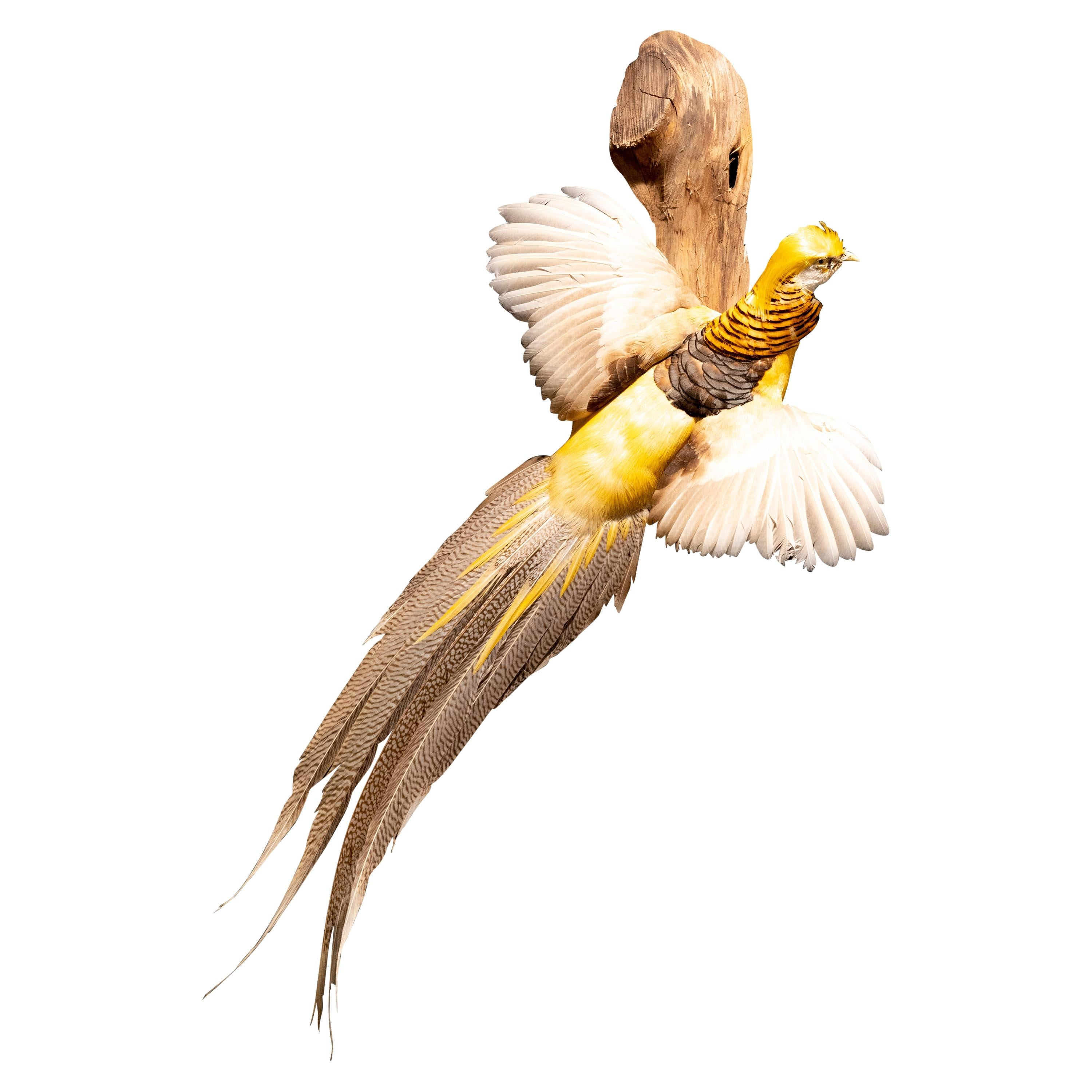 Yellow Golden Pheasant Wall Mounted Taxidermy Specimen