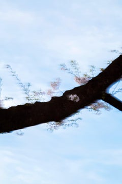 sakura 007 – Yoshinori Mizutani, Colour, Photography, Japan, Sakura, Spring
