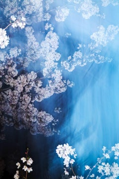 sakura 013  – Yoshinori Mizutani, Colour, Photography, Spring, Japan, Sakura