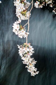 sakura 022  – Yoshinori Mizutani, Colour, Photography, Japan, Sakura, Spring