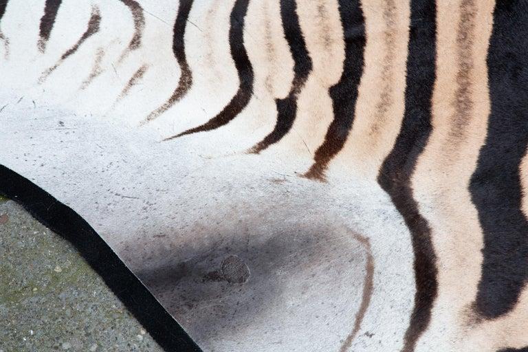 Zebra Rug, Extra Large For Sale 2