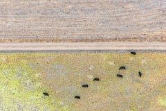 """""""Cows in the Grass""""  Contemporary Abstract Aerial Landscape (Color Photograph)"""