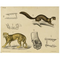 Zoological Lithograph Made in 1912 on Cardboard by H Aschehoug & Co Norway