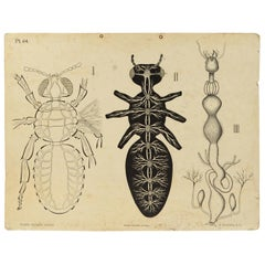 Zoological Lithograph Made in 1925 on Cardboard by H Aschehoug & Co Norway