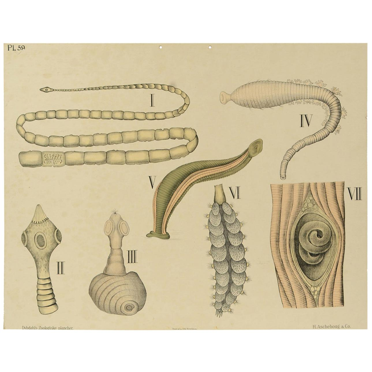 Zoological Lithograph of worm organs 1925 Cardboard by H Aschehoug & Co Norway